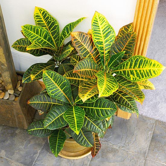 While this showy shrub survives in low light levels, its foliage shows the best color in bright spots.   Name: Codiaeum variegatum pictum        Growing Conditions: Bright light; 60-75 degrees F.; allow the soil surface to dry between waterings        Size: To 4 feet tall and 3 feet wide        Note: This plant is poisonous and can make children or pets sick if they chew on it or eat it.