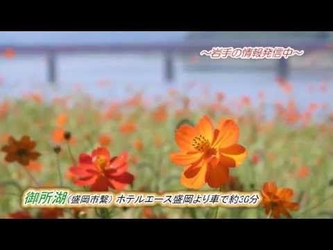 オレンジ色のキバナコスモスが見頃 盛岡 御所湖