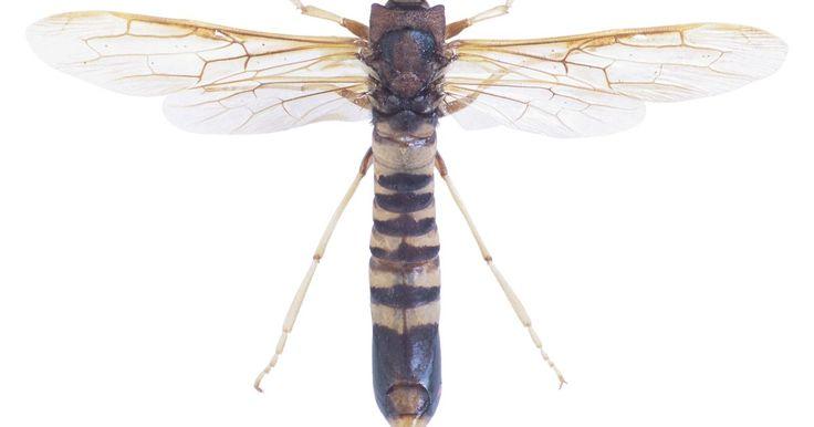 Tipos de vespas-do-barro. Existem inúmeros tipos de vespas-do-barro no mundo. A maioria delas é solitária, mas algumas vivem em pequenas colônias. Umas simplesmente cavam buracos no chão para habitar, outras constroem colmeias de barro, e umas poucas constroem casas de barro complexas. Grande parte das vespas que vivem no barro é pacífica e raramente ataca. Todas elas ...