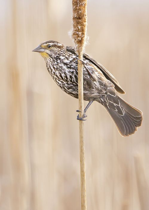 Female Red-winged Blackbird in a Minnesota wetland
