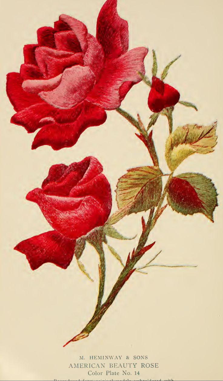 "American Beauty Rose Embroidery from ""A Treatise on Embroidery"" published in 1907."
