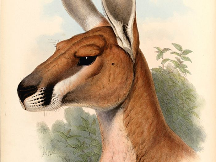 Angry Animals Google Search: Australian Animals Drawings - Google Search