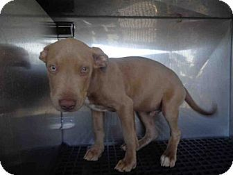 Fort Myers, FL - Pit Bull Terrier. Meet BUGSY, a puppy for adoption. http://www.adoptapet.com/pet/17062290-fort-myers-florida-pit-bull-terrier