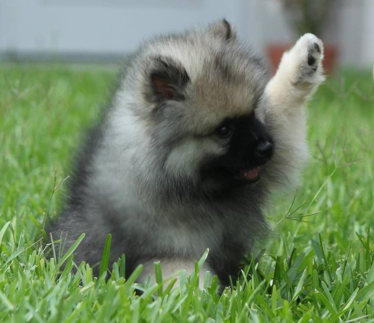 17+ best images about Keeshond pups on Pinterest | Canvas ...