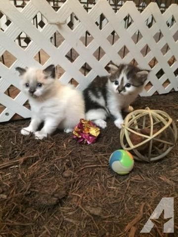 Mystical Manx Kittens for Sale in Krum, Texas Classified | AmericanListed.com