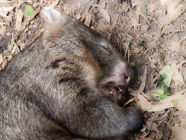 21 Wombats Who Understand The Struggle Of Constant Tiredness