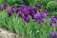 Fleurs - Diviser et planter l'iris