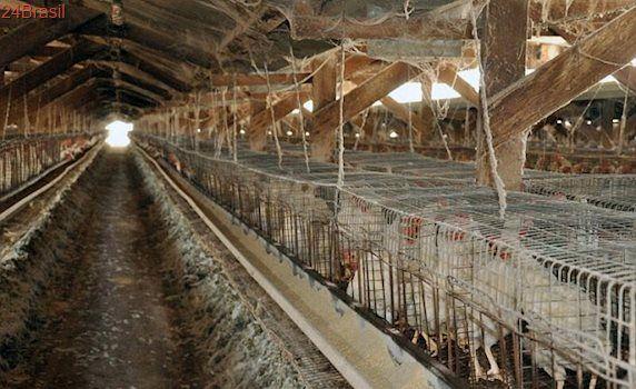 Milhares de galinhas são forçadas a por ovos sobre cadáveres em granja