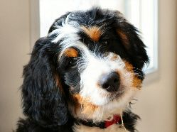 About Bernedoodles The Bernedoodle is a cross between a Bernese Mountain Dog and a Poodle. This hybrid blends the clever goofiness of the poodle with the placid loyalty of the Bernese. What's more, the Bernedoodle is low- to non-shedding, and is a safe bet for most people with allergies. I believe the Bernedoodle is the …
