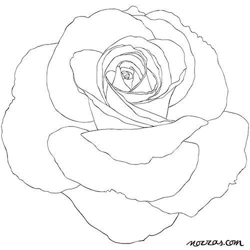 Coloring Page For Adults English Rose In High Res