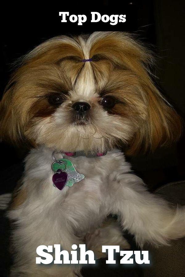 Sensational Shih Tzu Wallpaper Iphone Shih Tzu Puppy Shih Tzu Dog Shih Tzu
