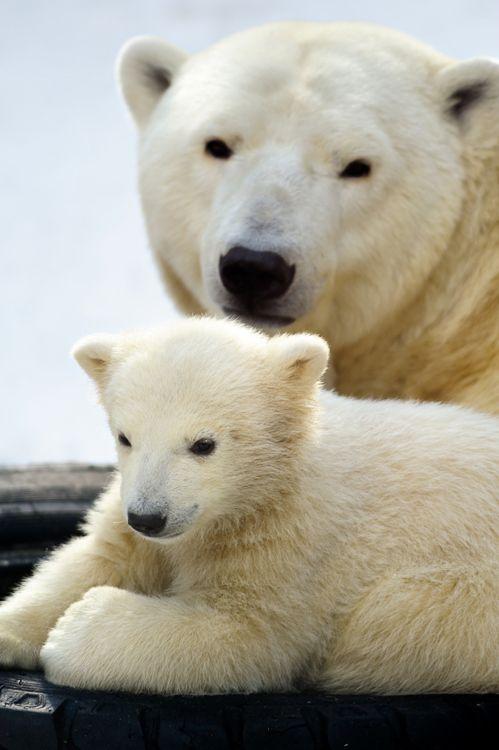 Polar bear cub with his mom | Amazing Pictures – Furkl.Com