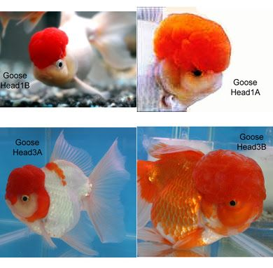 Live Koi Fish for Sale in Cebu , Goldfish for Sale in Cebu: All about Head Growth