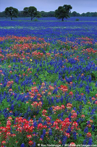 Texas wildflowers: bluebonnets (State Flower) and Indian paintbrush