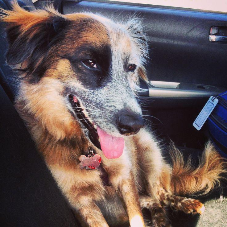 My Baby Girl! Red Heeler/Australian Shepherd Mix Dogs