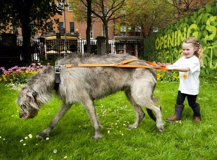 Hilarious Photos Of Irish Wolfhounds And It S Crazy How Large