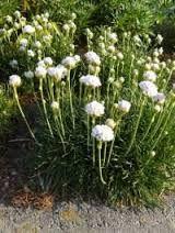 Afbeeldingsresultaat voor groenblijvende bloeiende struiken voor volle zon