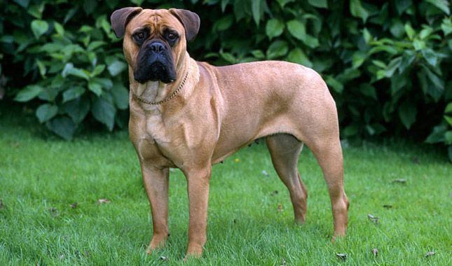 Seven Important Questions to Ask a Bullmastiff Breeder