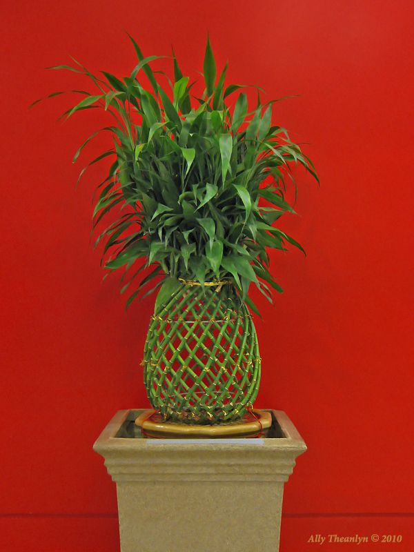 25 Best Ideas About Lucky Bamboo Plants On Pinterest