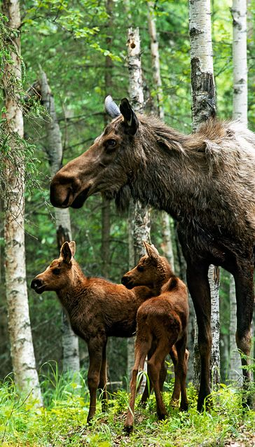 Moose Twins, Anchorage, Alaska | Eric James