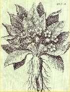 """Ilustración escaneada del libro """"Las Plantas de los Dioses"""".  Antiguos documentos describen a la mandrágora como una planta que: """"adormece el primer día y vuelve loco el segundo"""" (4). La Mandragora officinarum o Atropa mandragora es notable por la influencia que ejerció en Europa durante el medioevo. Los campesinos de aquellos tiempos le tenían horror porque creían que poseía ciertas características humanas. En los textos de magia se habla de ella con verdadero culto. Contribuyeron mucho a…"""