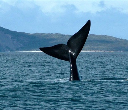 We saw one like this while at the Remarkable Rocks on Kangaroo Island (Southern Wright Whale, Albany WA)