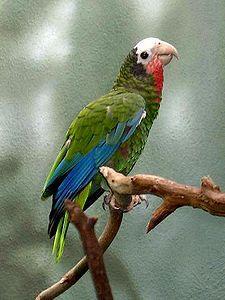 La amazona cubana (Amazona leucocephala)2 es una especie de ave psitaciforme de la familia de los loros (Psittacidae).Una amazona autóctona de Cuba y de algunas islas cercanas. Existen cuatro subespecies:  A. l. leucocephala presente en Cuba y la Isla de la Juventud. A. l. bahamensis con dos poblaciones en las Bahamas, una en Ábaco y otra en Gran Inagua. A. l. caymanensis presente en Gran Caimán. A. l. hesterna presente en Caimán Brac, dentro de las islas Caimán.