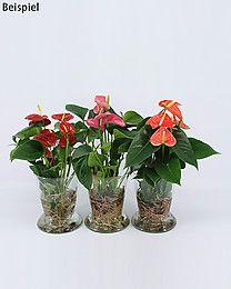 difiora verde anthurie erdlos vase hydroponics pflanzen pflanzen dekorieren und garten. Black Bedroom Furniture Sets. Home Design Ideas