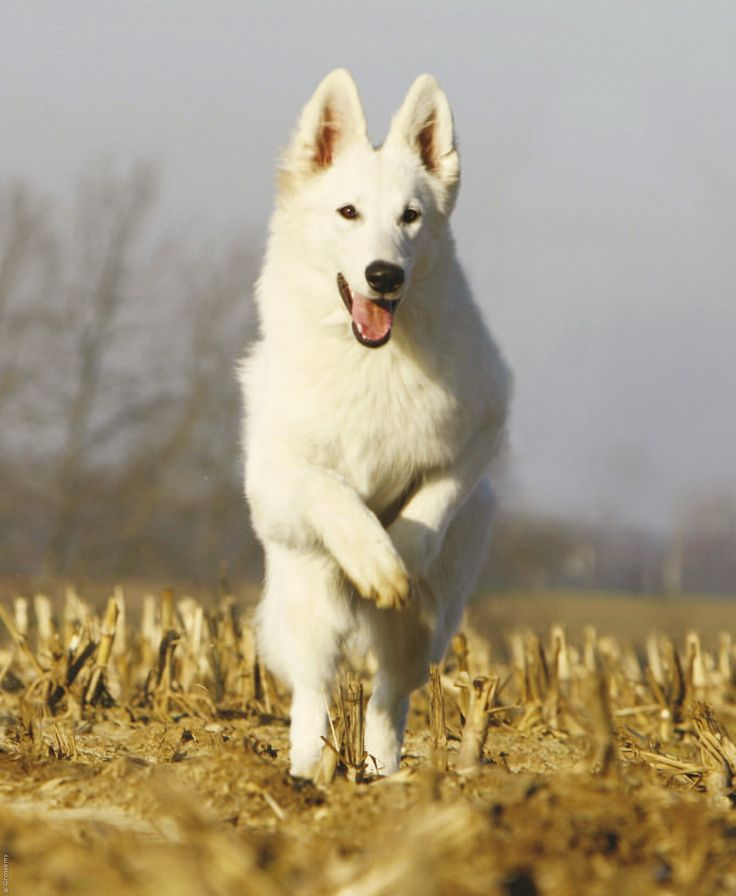 White Swiss Shepherd Dogs are gentle family and companion dogs that most of all adore children. They are also attentive watchdogs and hard workers with lots of get up and go.