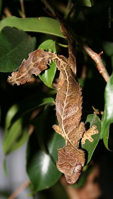 Satanic Leaf-Tailed Gecko (Uroplatus phantasticus) Madagascar