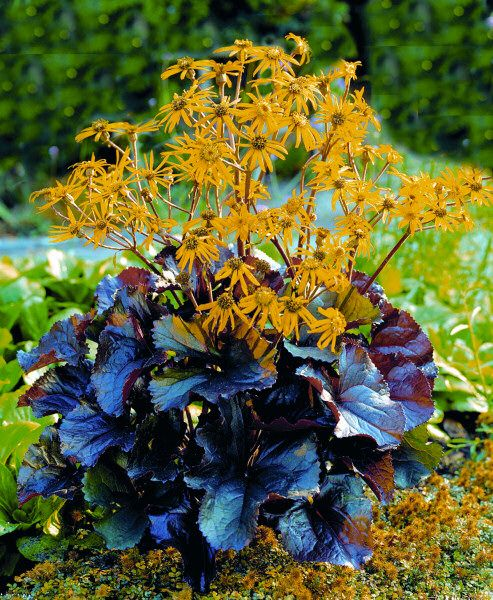 "Ligularia Dentata ""Britt Marie Crawford""/Black-Leaved"