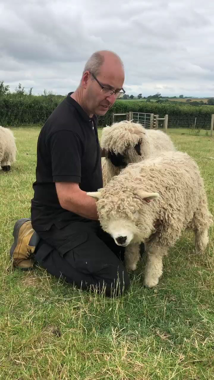 Sheep are Cute - cymraeg - Scandinavia and the World