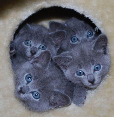 Baby Russian Blue Kittens!! Cats Pinterest