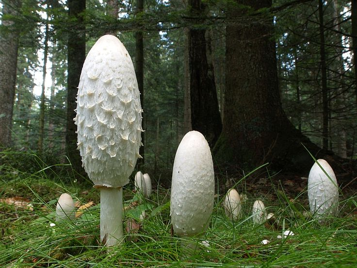 This fancy mushroom is known as the Lawyer's Wig. You can guess why, with it's long cap and shaggy mane! They also remind us of the bearskins that the guards wear at Buckingham Palace! These mushrooms are delicious if you deep fry the 'buttons' after dipping them in beaten eggs and breadcrumbs.
