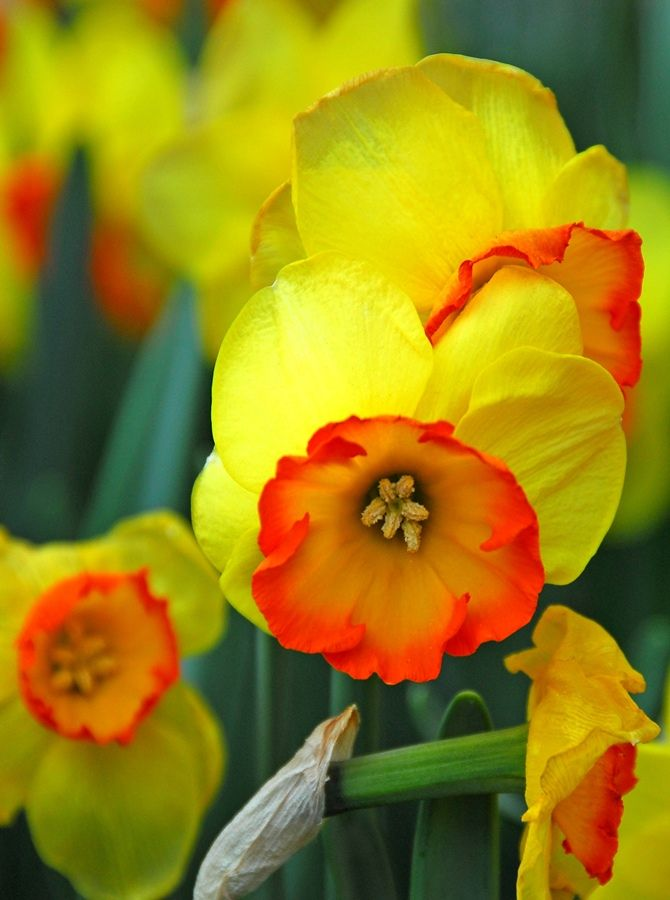 Narcissus | Daffodils on Keukenhof.