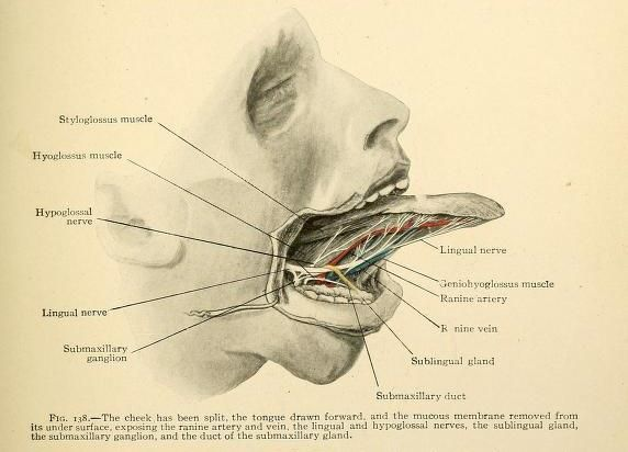 The anatomy of the tongue beneath the mucous membrane by Erwin F ...