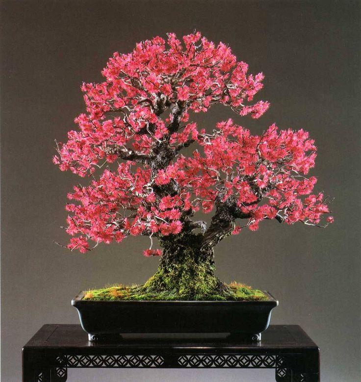 "bonsaitoday: "" Japanese Flowering Apricot Prunus Mume, Bonsai Today #94, Cover """