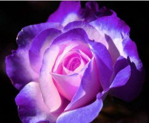 blue and pink rose!5 seeds!must have! by hg. $1.89. amazing 2 tone rose!5 seeds!pink and white and blue and white!mix between 2 rare colors!