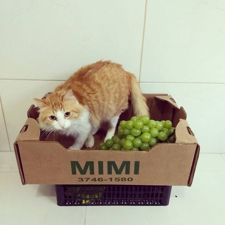 Segunda dia de começar o regime!!! Partiu ser fit comendo uvas!! Ps. Mamãe é Vet e me ensinou que uvas são tóxicas para cães e gatos!!! @helepinheirovet A foto é só charme não pode comer não amicats e aumigos!!!  #vet #cats #instacats #catsofinstagram #catmodel #catfitness #vidasaudavel #proibidoparacaesegatos #lovecats #love #catfriendly