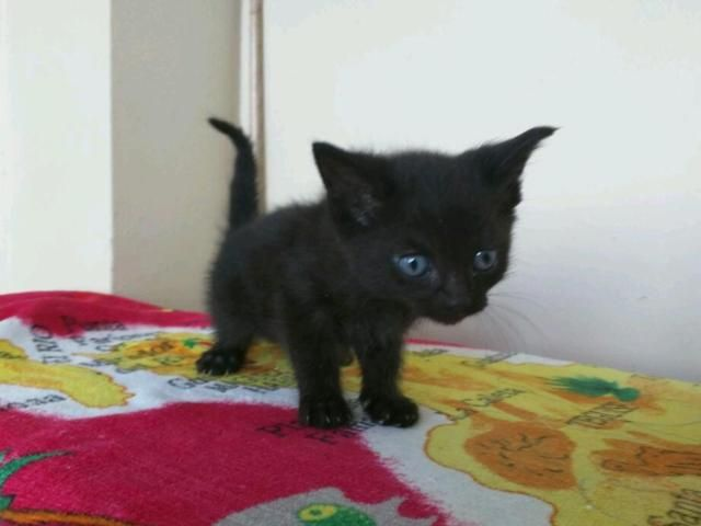 Kittens for sale on Gumtree. 4 kittens for sale. £50 each. 2 black, 2 grey. 3 females, 1 male (male is black). Born on 20th