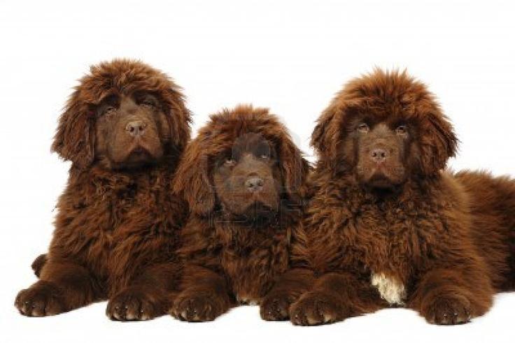 Brown Newfoundland puppies ) cute animals!! Pinterest