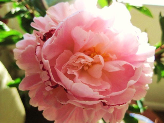 The Peony, my favourite flower.