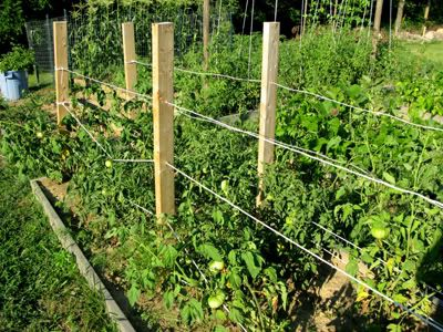 Many Ways To Support Tomatoes. More Helpful Info About Staking Tomatoes At  Http:/