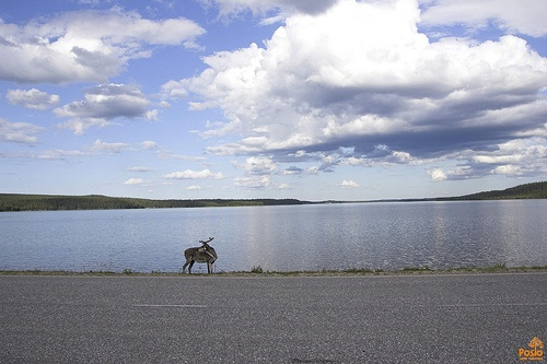 """""""First look left, then right..."""" Reindeer at lake Livojärvi in Posio"""