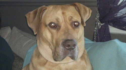 Vakkreste Dogo Canario