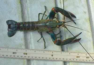 Fresh water shrimp in aquaponics (pictured: Giant Red Claw Crawfish)