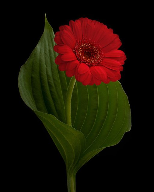 Simply Beautiful - GERBERA DAISY - not only a favorite, but it's wearing my favorite color for a Gerbera as well.  :)