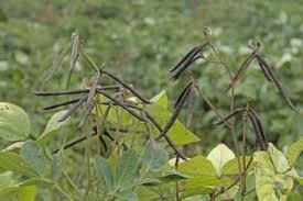 Mung bean (Vigna radiata)
