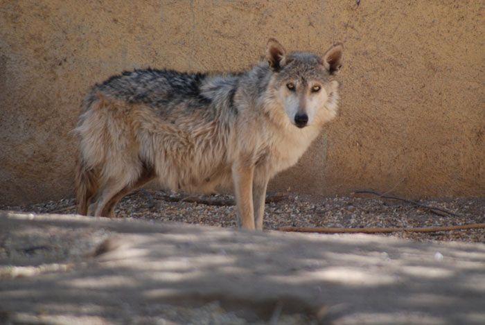 Nacen seis lobos grises en Sonora | La Crónica de Hoy
