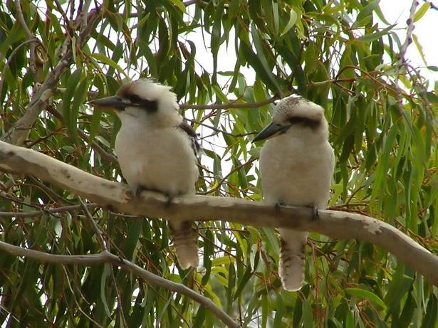 Kookaburras, South Australia